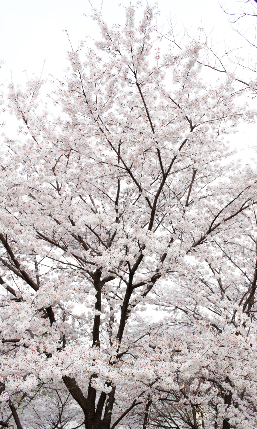 2015-04-09-korea-seoul-jamshil-seokchon-lake-cherry-blossoms-12