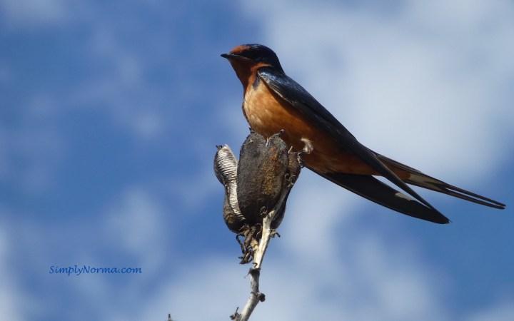 Barn Swallow, New Mexico