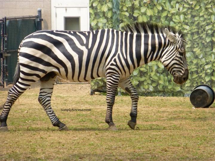 Zebra, Como Park Zoo