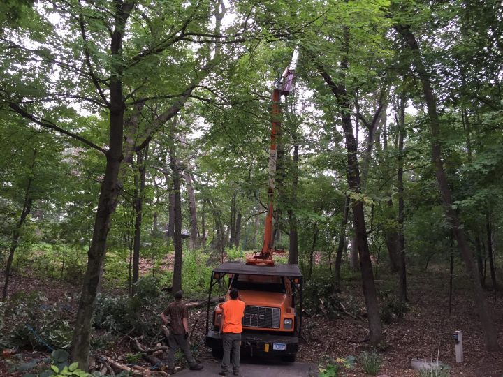 Contractor Felling A Tree