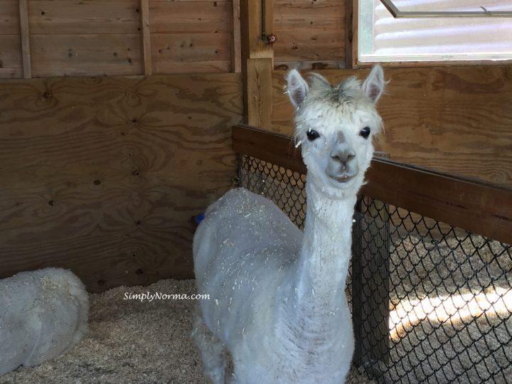 Alpaca, Pine Grove Zoo