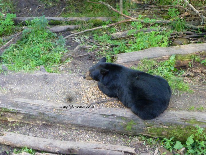 Bear, Vince Shute Wildlife Sanctuary