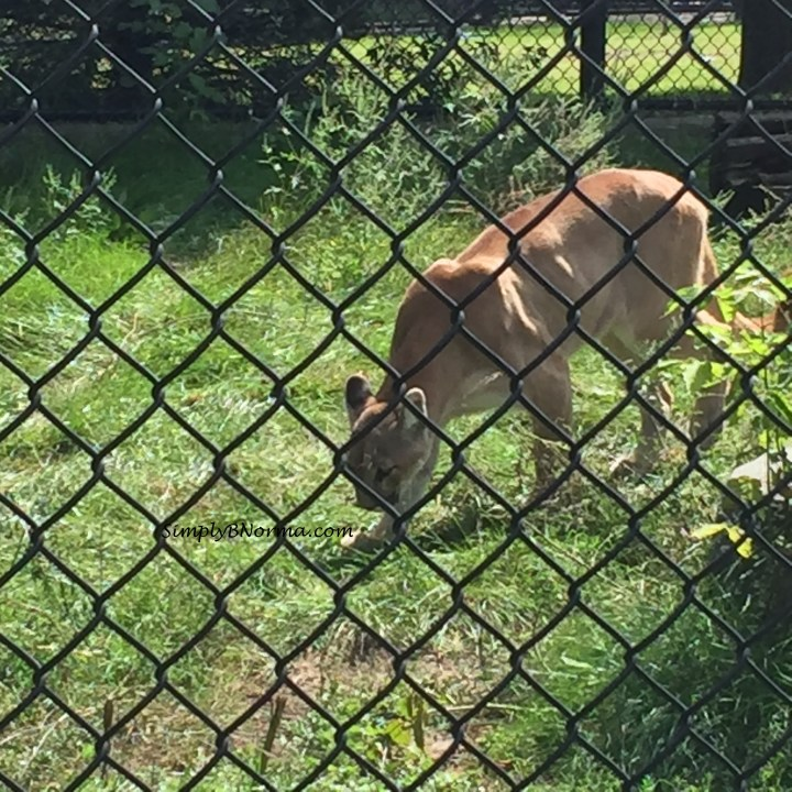 Cougar, Pine Grove Zoo