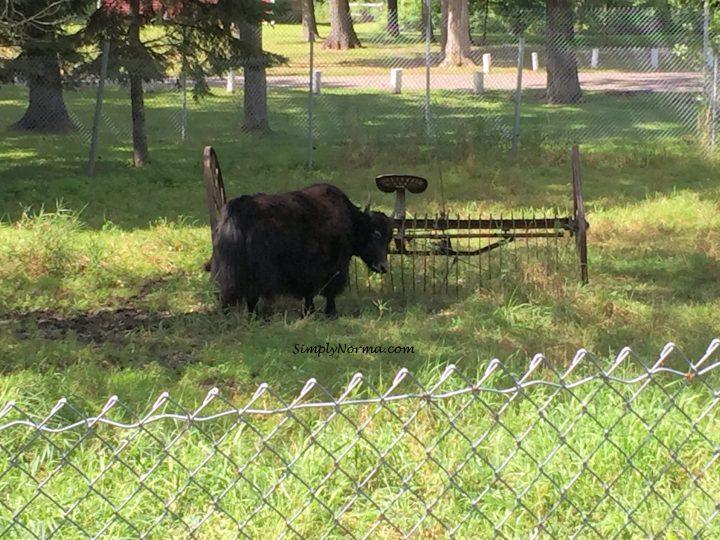 Yak, Pine Grove Zoo
