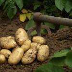 La patata, un alimento ideal para el celíaco