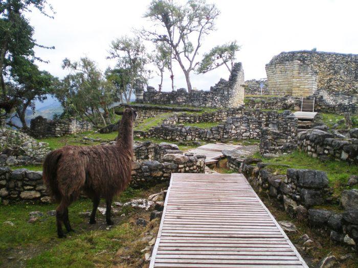 Una de las llamas custodiando el yacimiento arqueológico de Kuelap