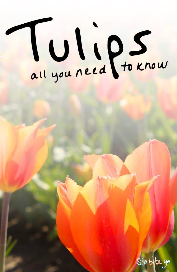 Tulips 101 ideas for tulip arrangements in a vase, indoor blooming tips, wedding centerpiece ideas + more! http://sipbitego.com/tulips-101 #flowers