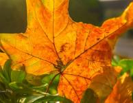 autumn-fallen-leaf