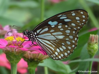 Knowing our butterflies: The stunning yet common Blue Tiger