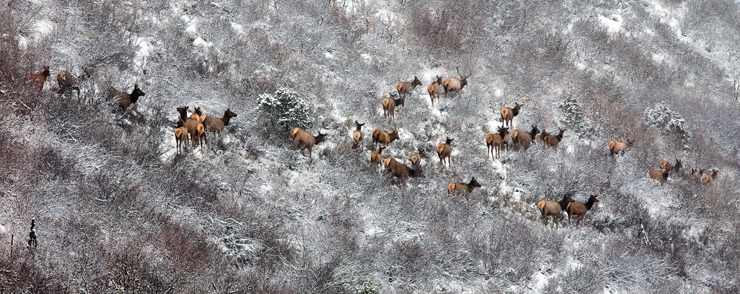 Elk at Cozy Point near Snowmass | Photo: Aspen/Snowmass, Jeremy Swanson