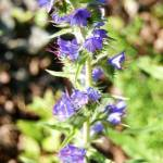 borage oil for acne