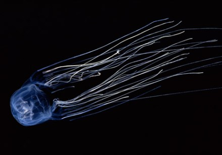 box-jellyfish-22916-ga