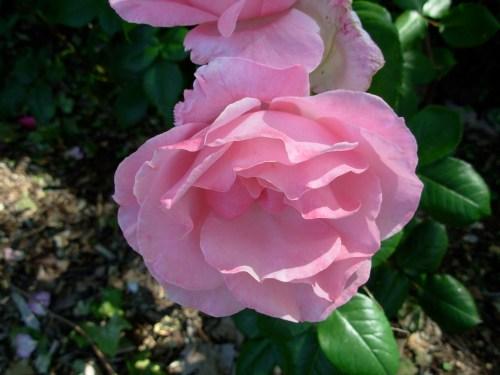 rosepalepink