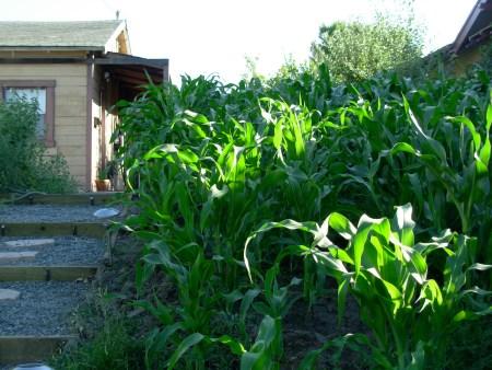 cornyard2