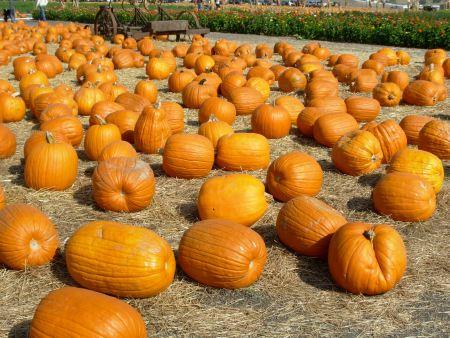 pumpkinfield2