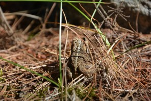 Leopard frog at Voyageurs National Park