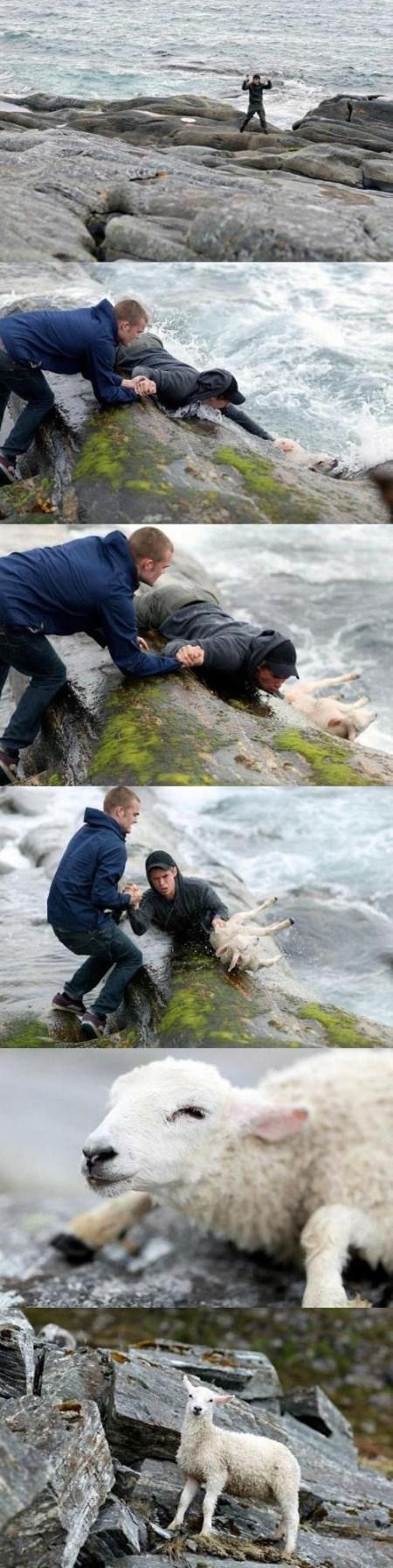 sheep rescu