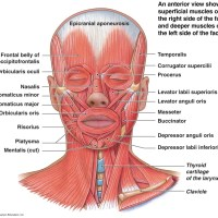 MUSCLES OF THE FACIAL EXPRESSION