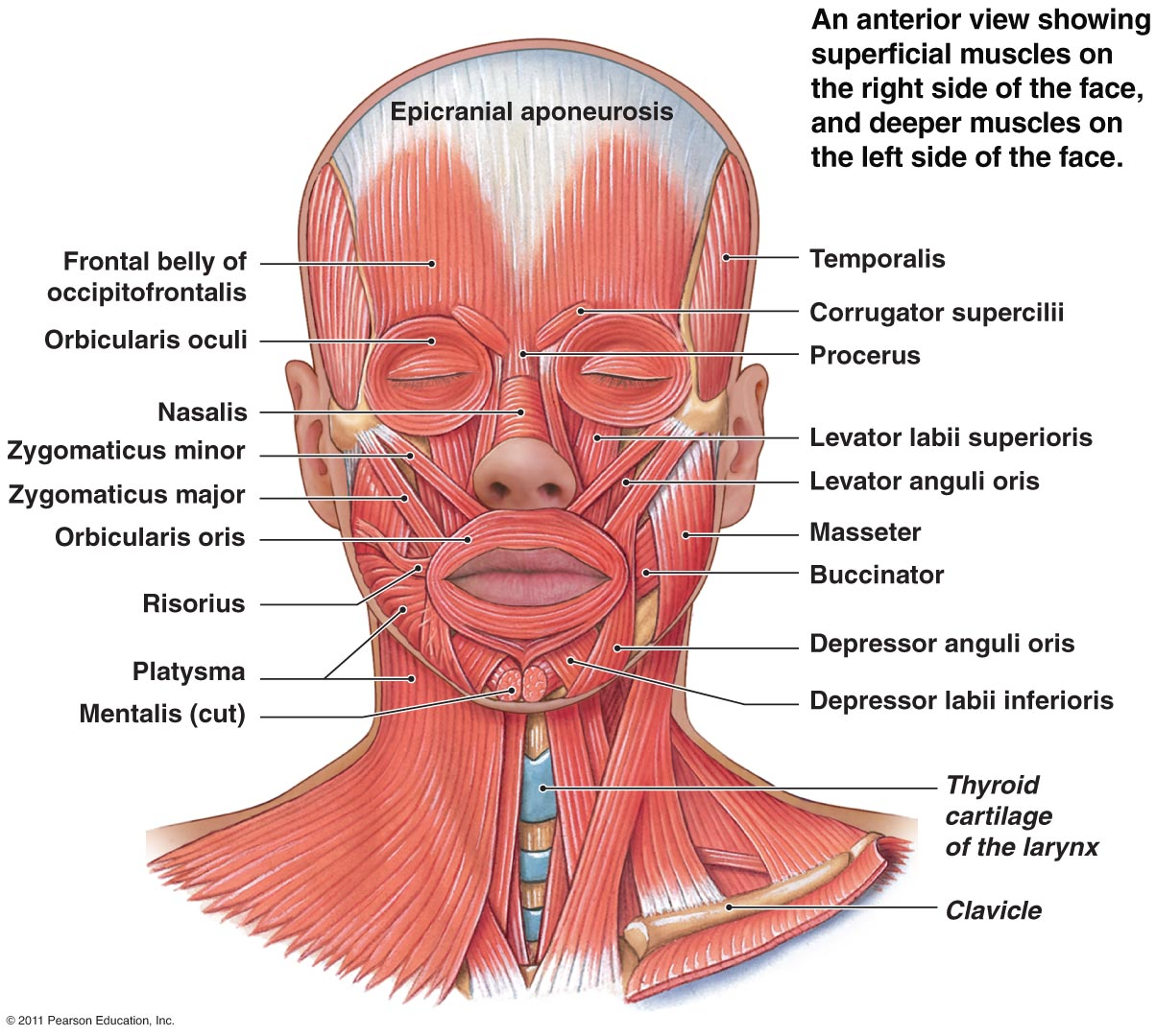 Head and neck facial