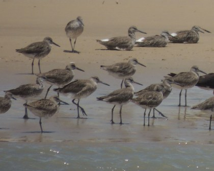 willets crop