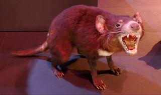 een Tasmaanse buidelwolf?