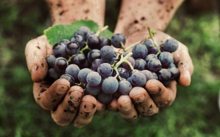 Grapes in hamds