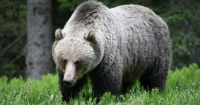 Grizzly Bear