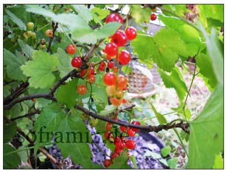 johannisbeer-brombeer-marmelade-5.jpg