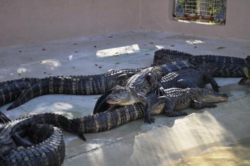 Alligators at Wooten's Everglades Airboat Tours