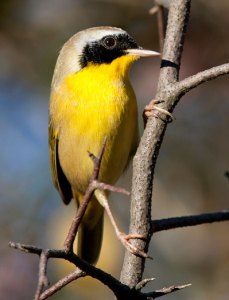 Common Yellowthroat, a common breeder at the lake