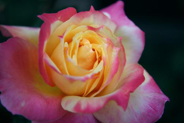 Pink Yellow Rose on Newbury Street
