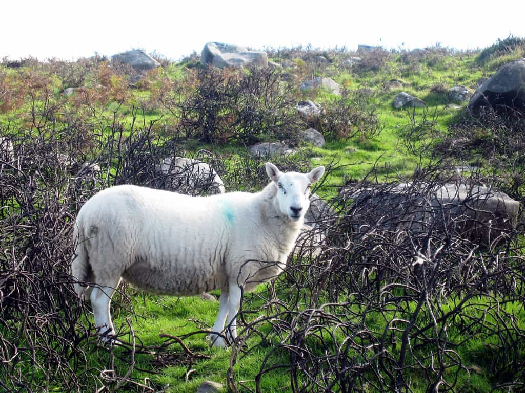 Curious sheep in the Preseli Mountains, Wales