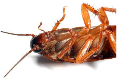 can-a-cockroach-live-without-its-head