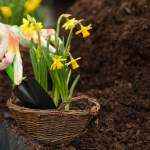 How to Transplant Daffodils