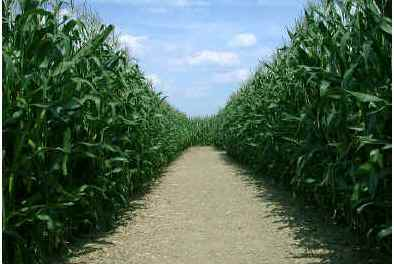 how-far-apart-do-you-plant-corn