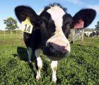 Daisy, una vaca alterada genéticamente para producir leche contra las alergias