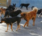 El misterio de los perros salvajes que tienen en vilo a Iztapalapa