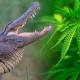 Para evitar robos, pone a cocodrilo a cuidar su plantío de marihuana