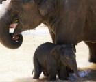 El momento en el que un elefante salva a su cría de morir ahogada