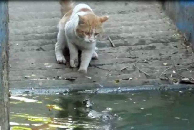 Gato vs lagarto