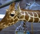 La jirafa que fue asesinada porque no había espacio para ella