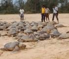 Encuentran cerca de 800 tortugas muertas en costas de la India