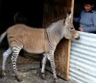 Khumba: el primer cebrasno que nace en México