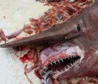 Encuentran en aguas del Golfo de México raro ejemplar de tiburón duende