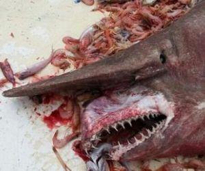 tiburon duende