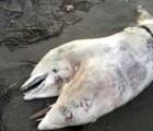 Delfín de dos cabezas es hallado en playa de Turquía