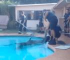 Así rescataron a un caballo que cayó en una piscina
