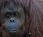 Orangután tendrá Derechos Humanos
