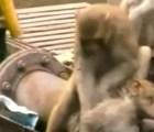 Mono salva a su amigo mono de la muerte