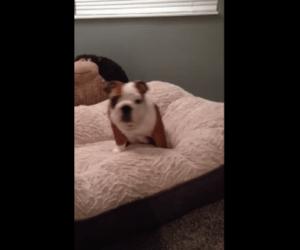 Pequeño bulldog no deja de brincar en su cama